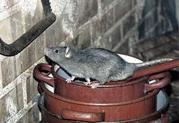 Rat Removal Project | Crawl Space Cleaning Los Angeles, CA